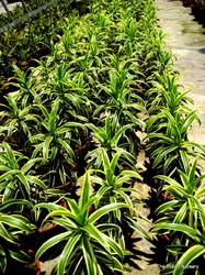 Dracaena Song of India